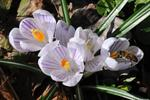 Spring Crocus (Crocus vernus)
